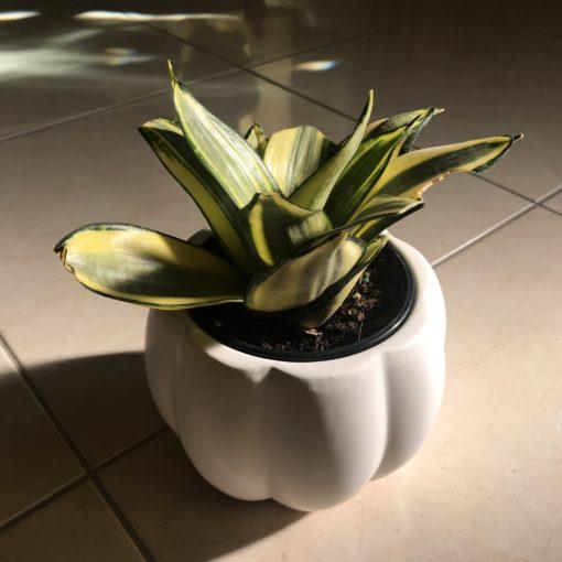 golden hahnii snake plant