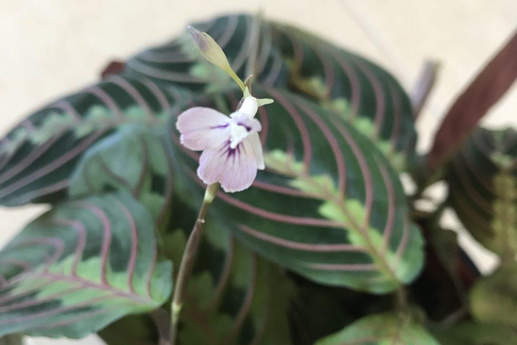 Maranta flower