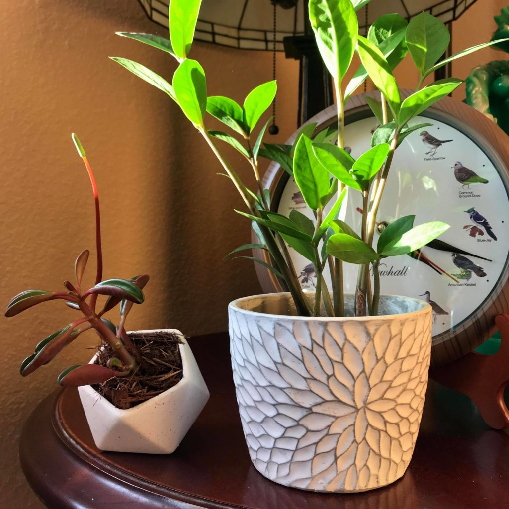 Peperomia and ZZ Plants