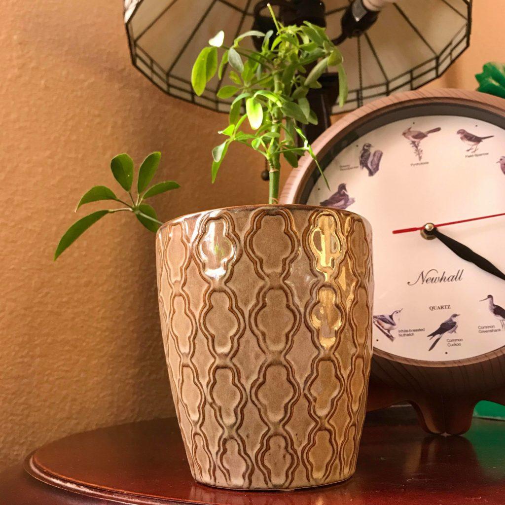 Umbrella Plant in Glazed Planter