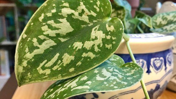 Scindapsus leaf